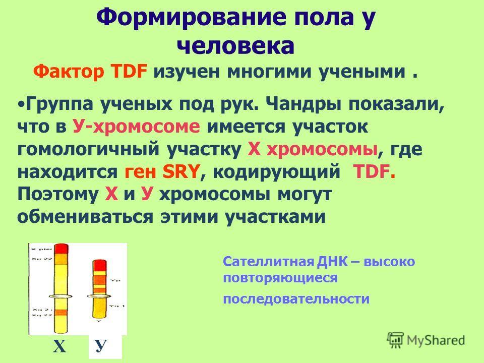 Формирование пола у человека Фактор TDF изучен многими учеными. Группа ученых под рук. Чандры показали, что в У-хромосоме имеется участок гомологичный участку Х хромосомы, где находится ген SRY, кодирующий TDF. Поэтому Х и У хромосомы могут обмениват