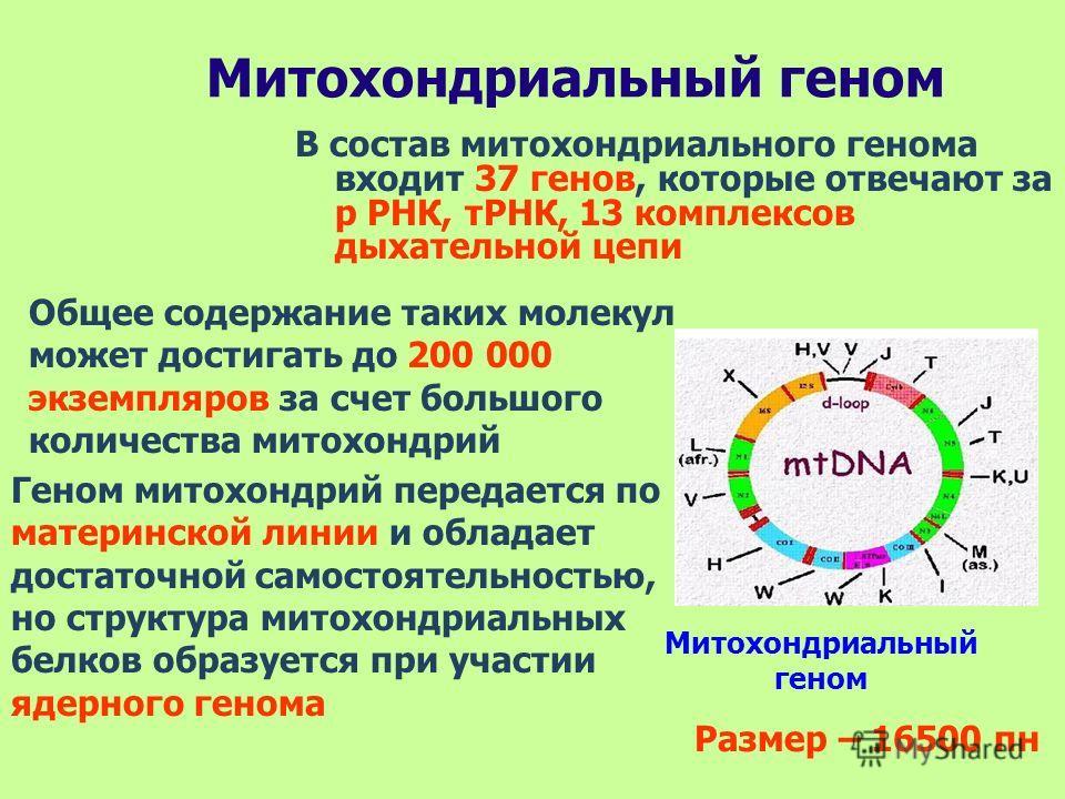 В состав митохондриального генома входит 37 генов, которые отвечают за р РНК, тРНК, 13 комплексов дыхательной цепи Общее содержание таких молекул может достигать до 200 000 экземпляров за счет большого количества митохондрий Геном митохондрий передае