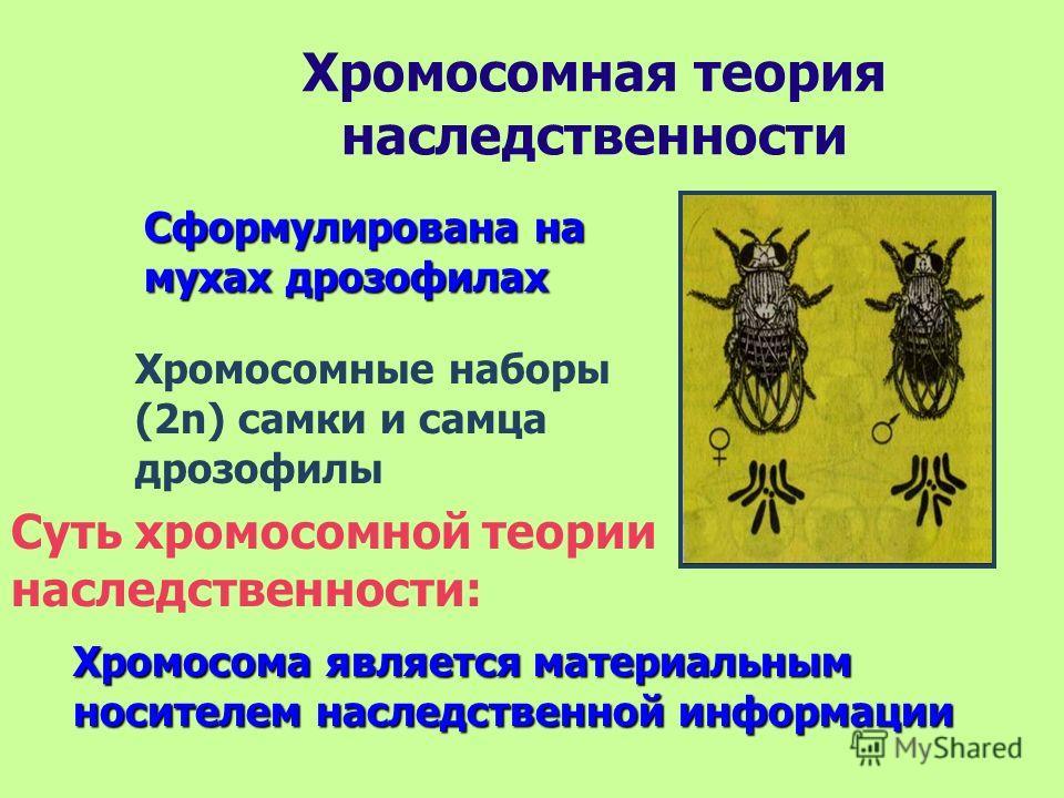 Хромосомная теория наследственности Сформулирована на мухах дрозофилах Хромосомные наборы (2n) самки и самца дрозофилы Суть хромосомной теории наследственности: Хромосома является материальным носителем наследственной информации