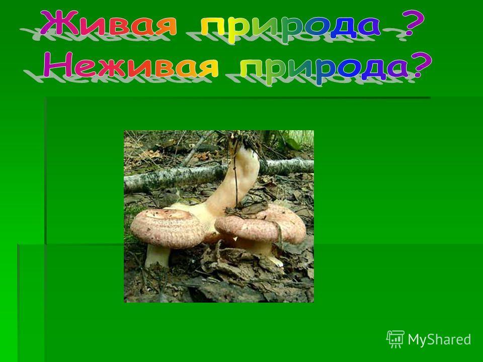 Какие грибы вы знаете? Собирали ли вы грибы? Какие? К какой природе отнесем грибы: живой или неживой?