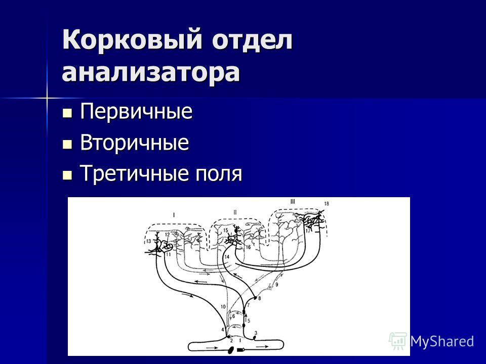 Корковый отдел анализатора Первичные Первичные Вторичные Вторичные Третичные поля Третичные поля