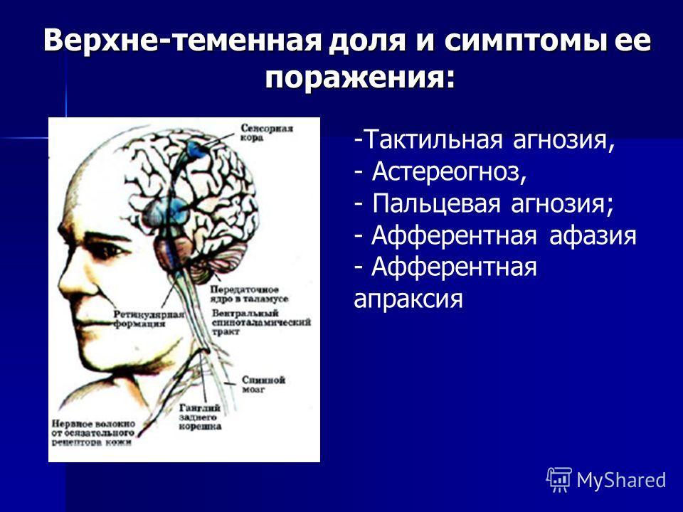 Верхне-теменная доля и симптомы ее поражения: -Тактильная агнозия, - Астереогноз, - Пальцевая агнозия; - Афферентная афазия - Афферентная апраксия