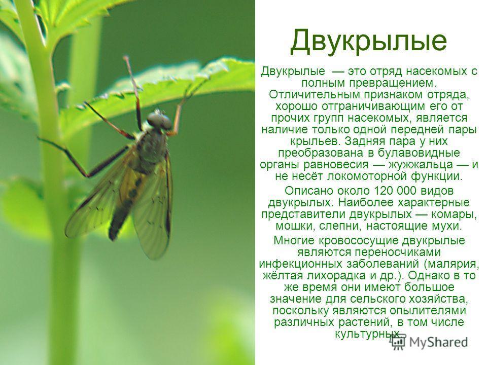 Двукрылые Двукрылые это отряд насекомых с полным превращением. Отличительным признаком отряда, хорошо отграничивающим его от прочих групп насекомых, является наличие только одной передней пары крыльев. Задняя пара у них преобразована в булавовидные о