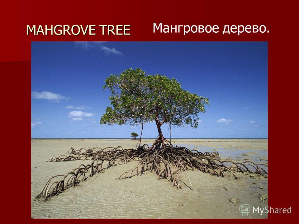MAHGROVE TREE Мангровое дерево.