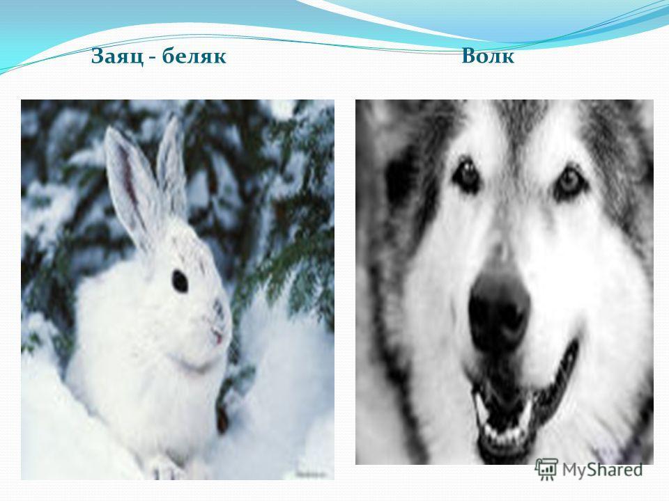 Заяц - беляк Волк