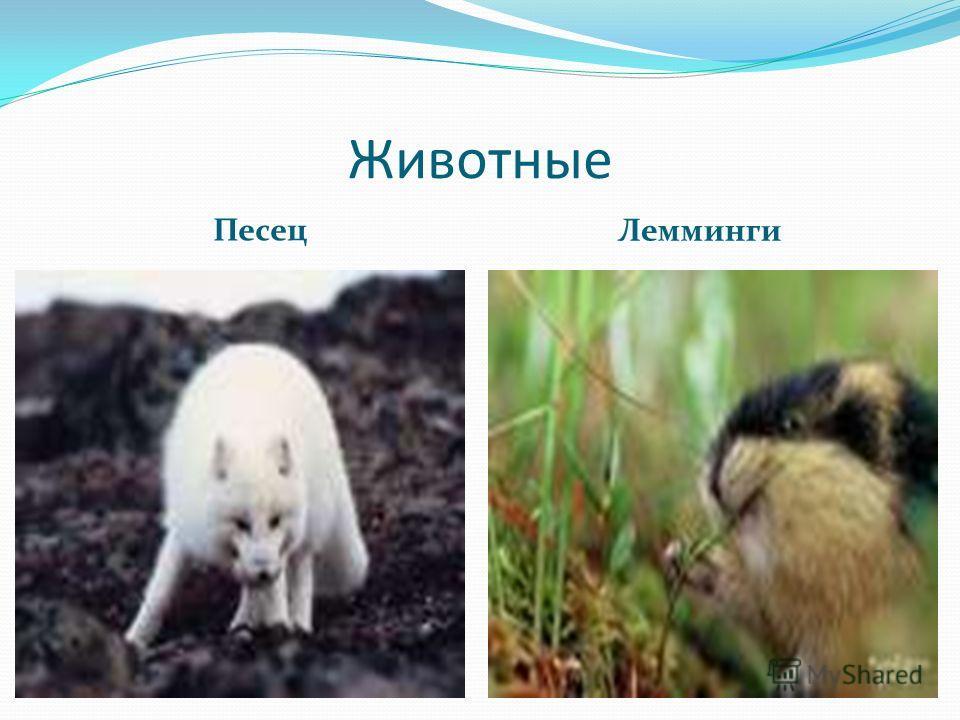 Животные Песец Лемминги
