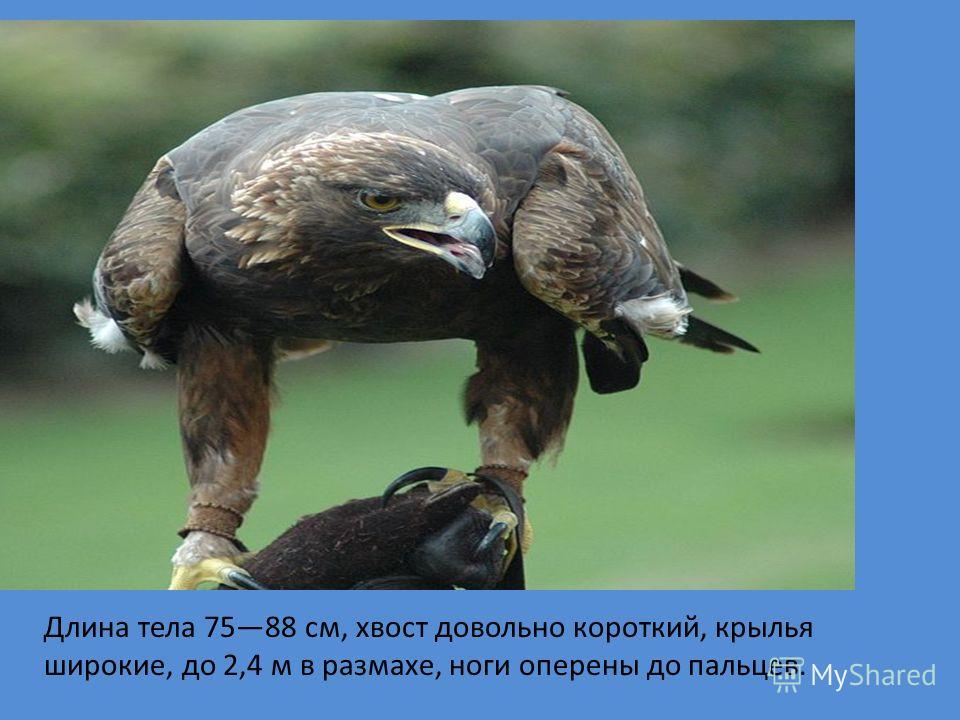 Орлы Длина тела 7588 см, хвост довольно короткий, крылья широкие, до 2,4 м в размахе, ноги оперены до пальцев.