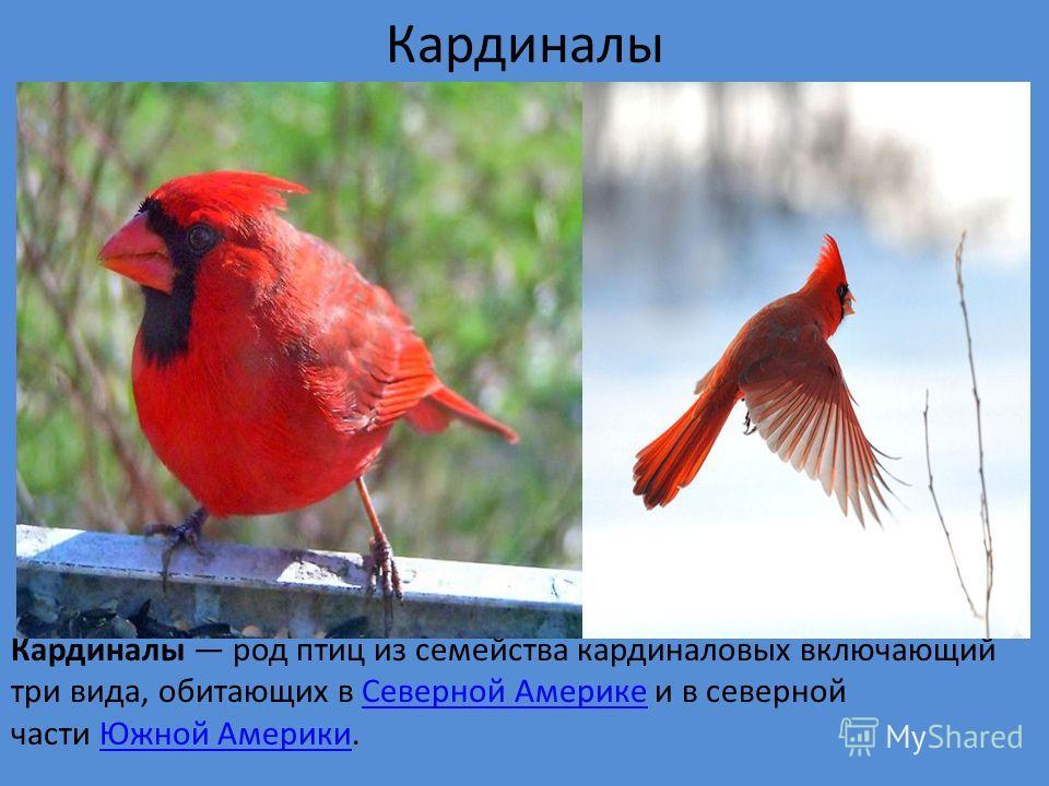 Кардиналы Кардиналы род птиц из семейства кардиналовых включающий три вида, обитающих в Северной Америке и в северной части Южной Америки.Северной АмерикеЮжной Америки