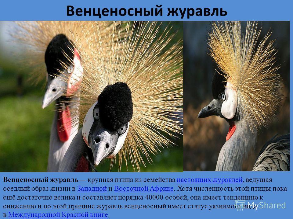 Венценосный журавль Венценосный журавль крупная птица из семейства настоящих журавлей, ведущая оседлый образ жизни в Западной и Восточной Африке. Хотя численность этой птицы пока ещё достаточно велика и составляет порядка 40000 особей, она имеет тенд