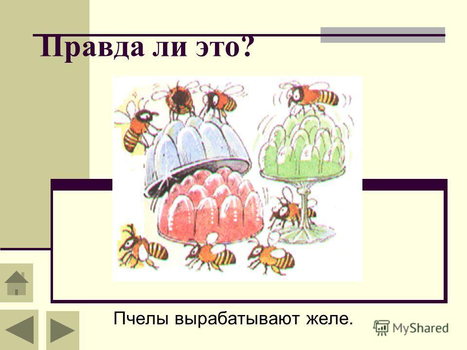 Правда ли это? Пчелы вырабатывают желе.