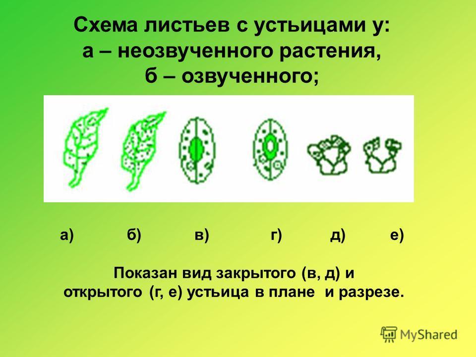Схема листьев с устьицами у: а – неозвученного растения, б – озвученного; а) б) в) г) д) е) Показан вид закрытого (в, д) и открытого (г, е) устьица в плане и разрезе.