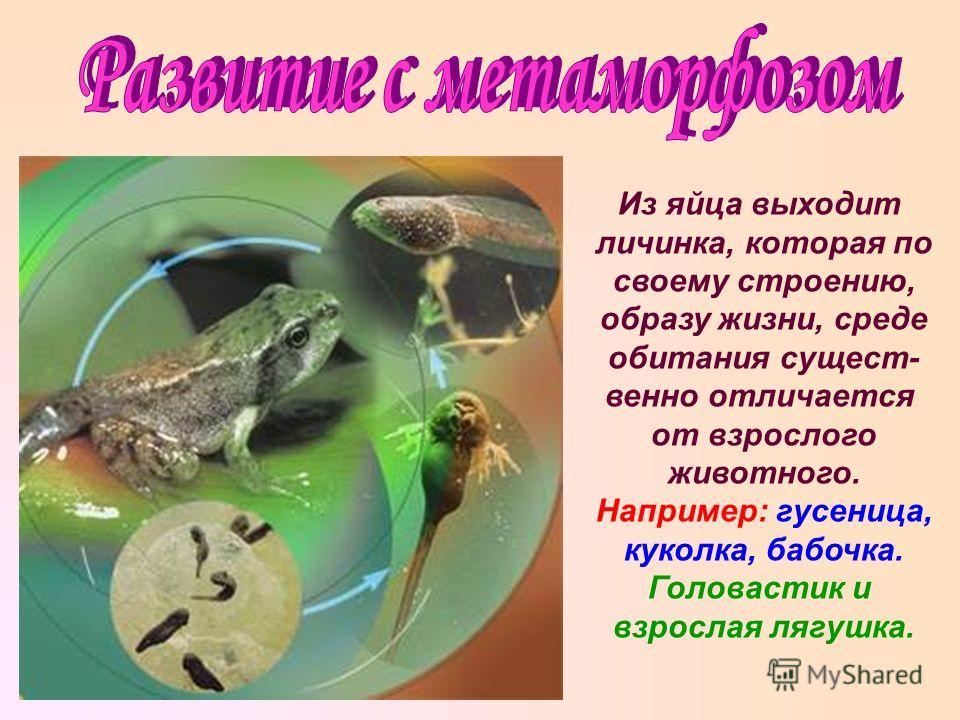 Из яйца выходит личинка, которая по своему строению, образу жизни, среде обитания сущест- венно отличается от взрослого животного. Например: гусеница, куколка, бабочка. Головастик и взрослая лягушка.