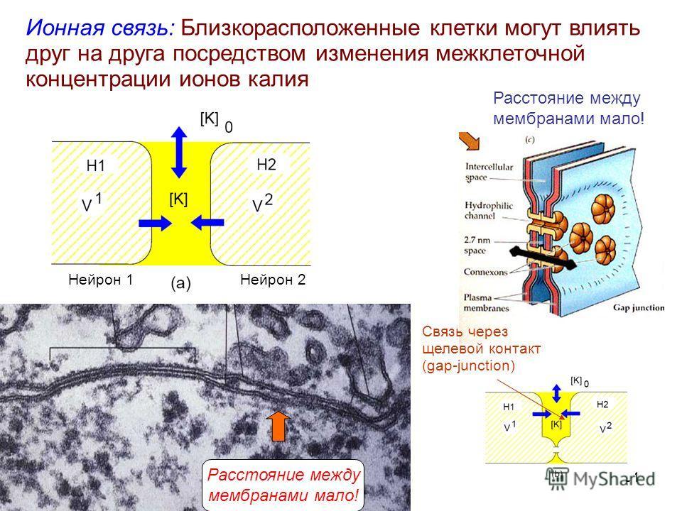 31 Ионная связь: Близкорасположенные клетки могут влиять друг на друга посредством изменения межклеточной концентрации ионов калия Связь через щелевой контакт (gap-junction) Нейрон 1Нейрон 2 Расстояние между мембранами мало! Расстояние между мембрана