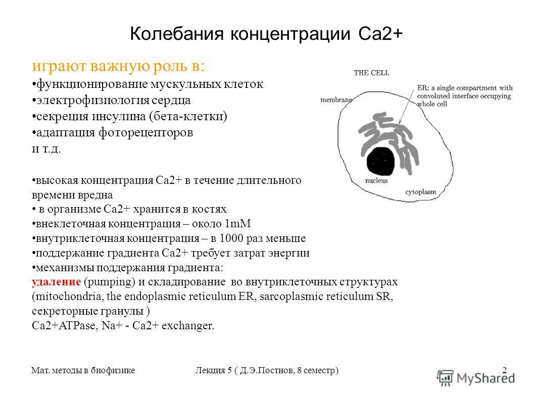 Мат. методы в биофизикеЛекция 5 ( Д.Э.Постнов, 8 семестр)2 Колебания концентрации Са2+ играют важную роль в: функционирование мускульных клеток электрофизиология сердца секреция инсулина (бета-клетки) адаптация фоторецепторов и т.д. высокая концентра