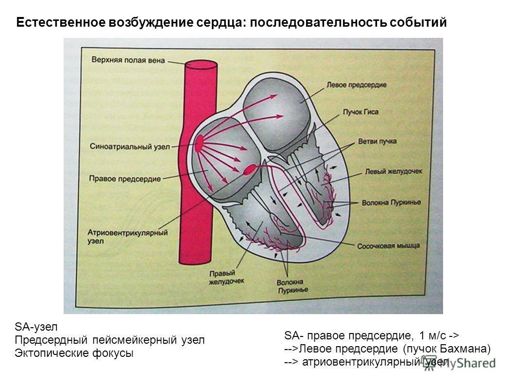 Естественное возбуждение сердца: последовательность событий SA-узел Предсердный пейсмейкерный узел Эктопические фокусы SA- правое предсердие, 1 м/с -> -->Левое предсердие (пучок Бахмана) --> атриовентрикулярный узел