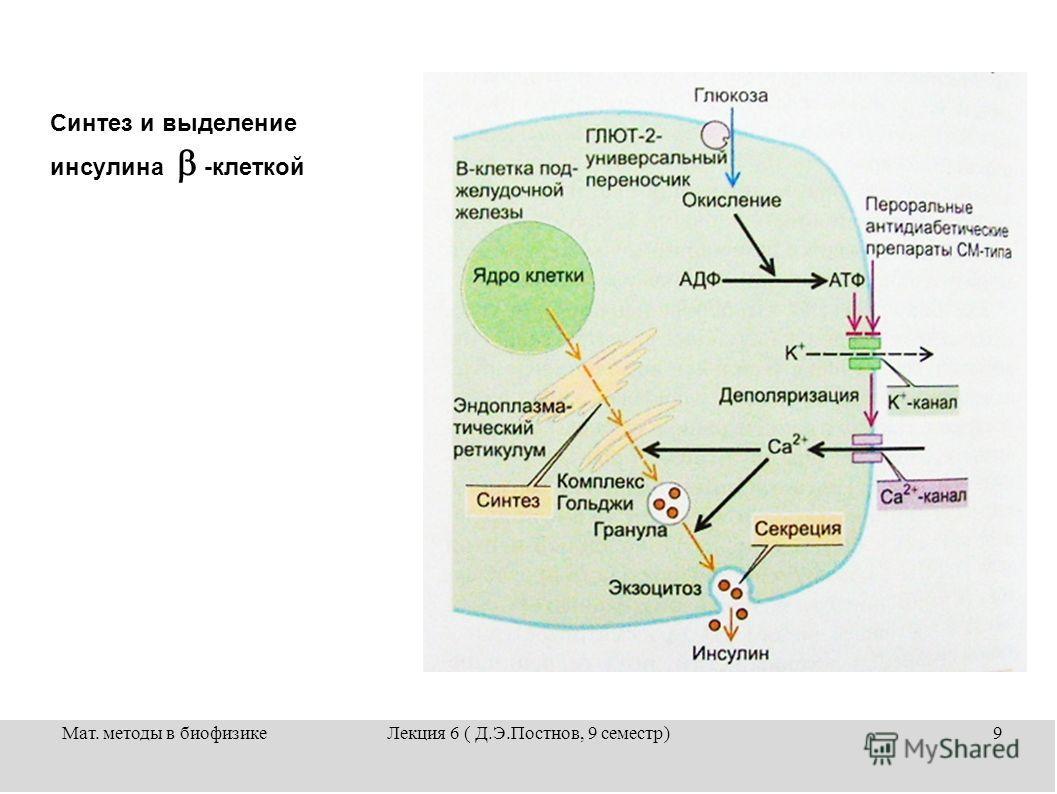 Мат. методы в биофизикеЛекция 6 ( Д.Э.Постнов, 9 семестр)9 Синтез и выделение инсулина -клеткой