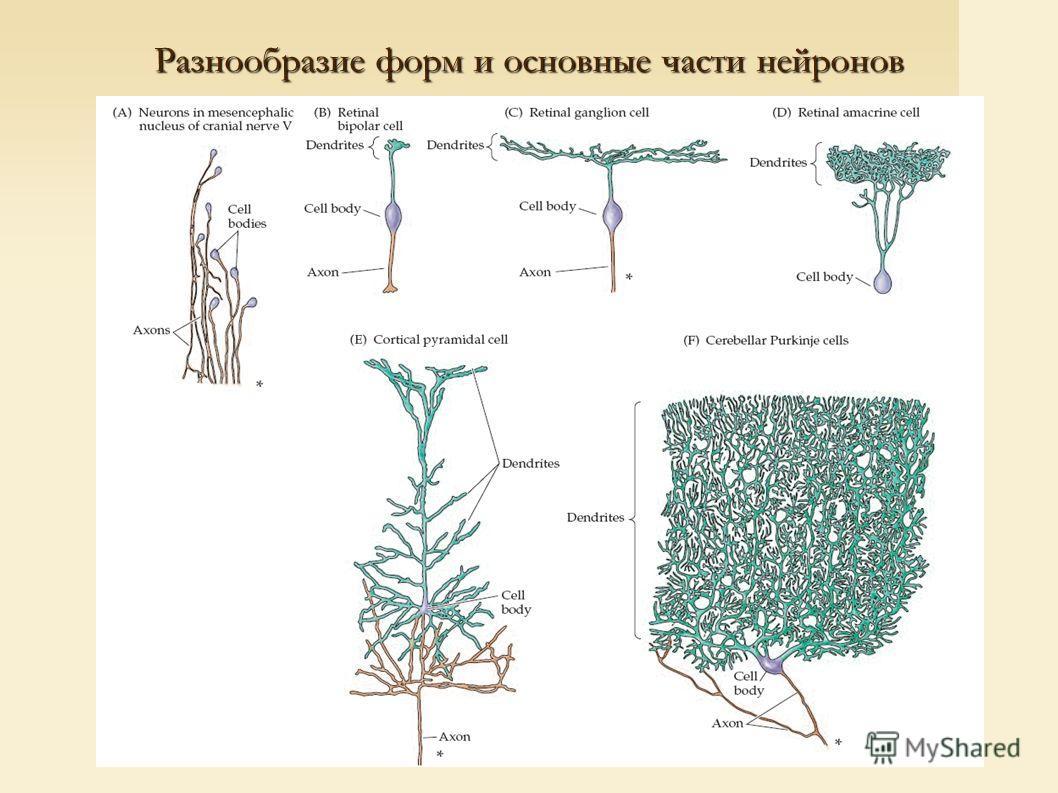 Разнообразие форм и основные части нейронов