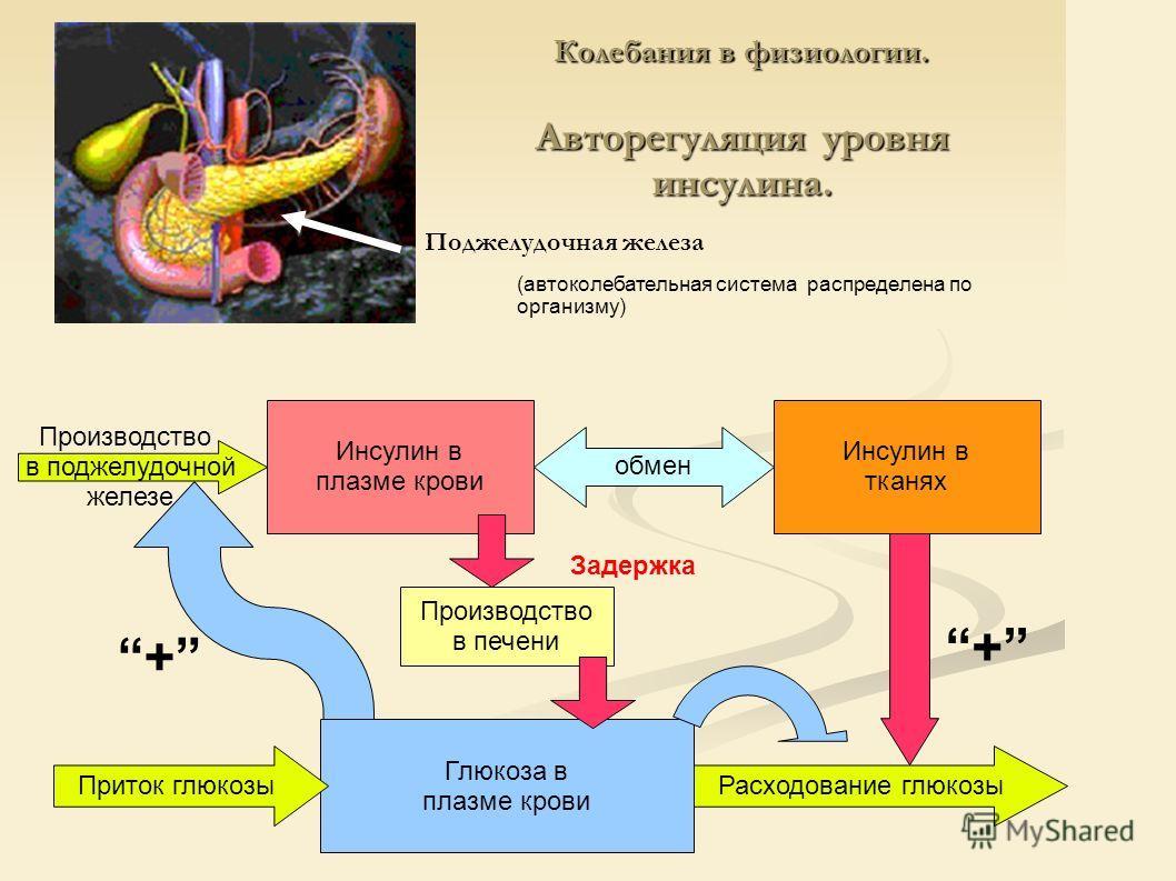 Колебания в физиологии. Авторегуляция уровня инсулина. Поджелудочная железа (автоколебательная система распределена по организму) Инсулин в плазме крови Инсулин в тканях Глюкоза в плазме крови Производство в поджелудочной железе обмен Приток глюкозыР