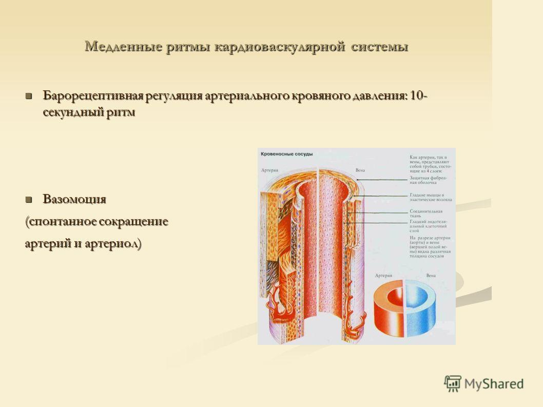 Медленные ритмы кардиоваскулярной системы Барорецептивная регуляция артериального кровяного давления: 10- секундный ритм Барорецептивная регуляция артериального кровяного давления: 10- секундный ритм Вазомоция Вазомоция (спонтанное сокращение артерий