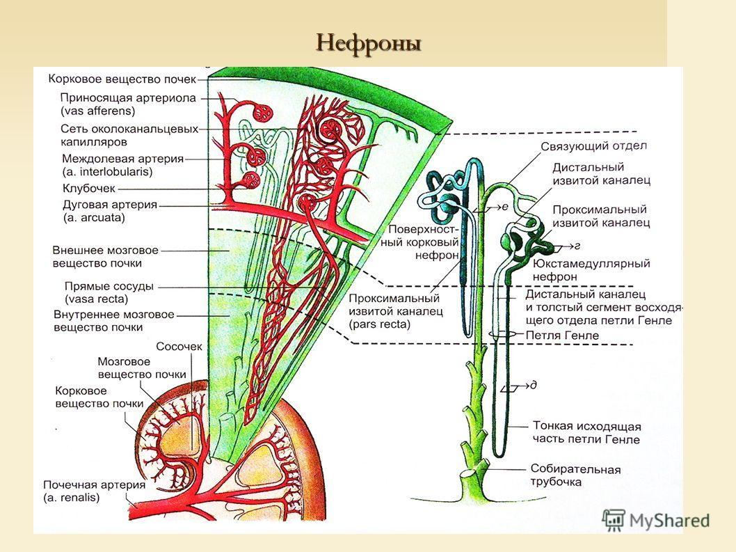 Нефроны