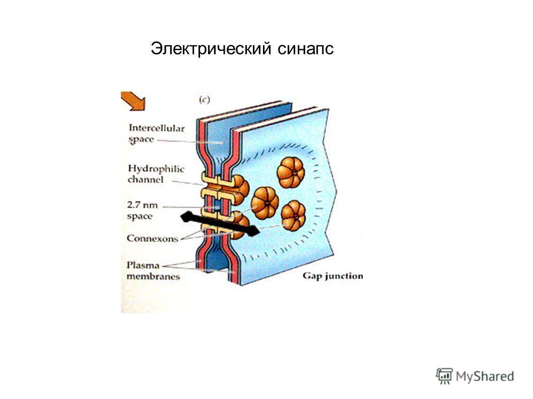 Электрический синапс