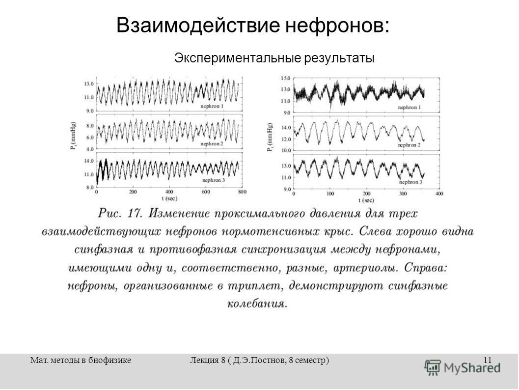 Мат. методы в биофизикеЛекция 8 ( Д.Э.Постнов, 8 семестр)11 Взаимодействие нефронов: Экспериментальные результаты