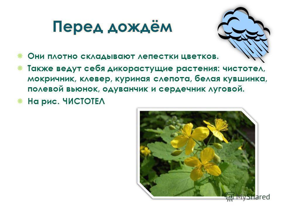 Они плотно складывают лепестки цветков. Также ведут себя дикорастущие растения: чистотел, мокричник, клевер, куриная слепота, белая кувшинка, полевой вьюнок, одуванчик и сердечник луговой. На рис. ЧИСТОТЕЛ