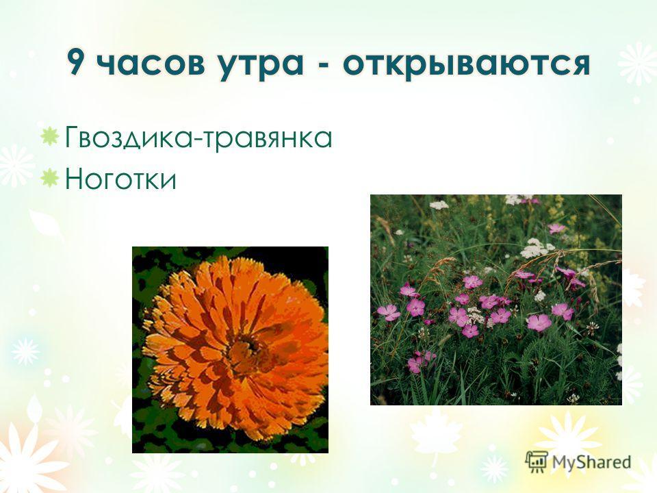 Гвоздика-травянка Ноготки