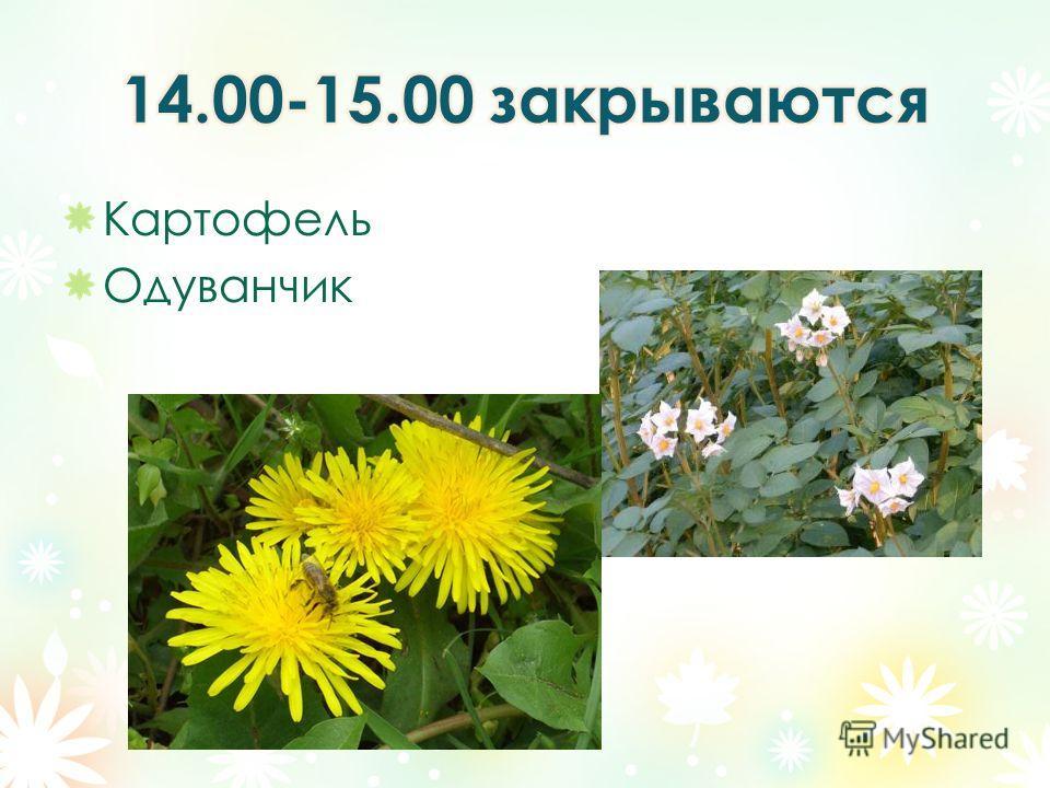 Картофель Одуванчик