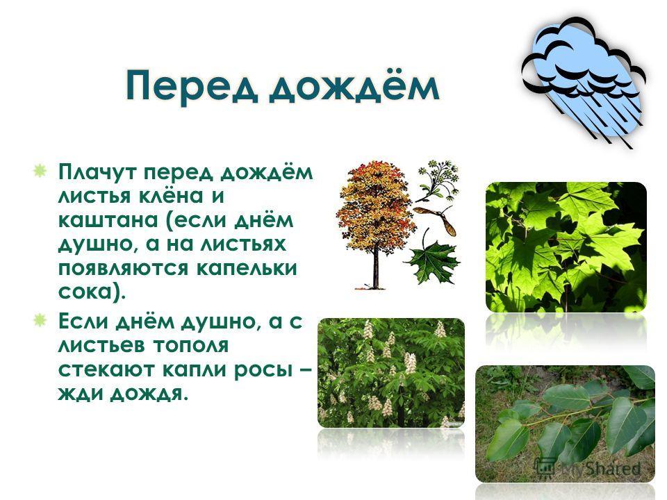 Плачут перед дождём листья клёна и каштана (если днём душно, а на листьях появляются капельки сока). Если днём душно, а с листьев тополя стекают капли росы – жди дождя.