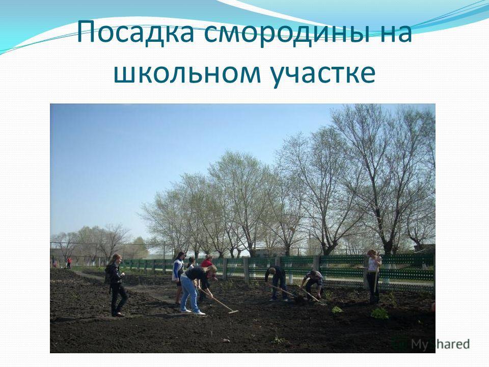 Посадка смородины на школьном участке