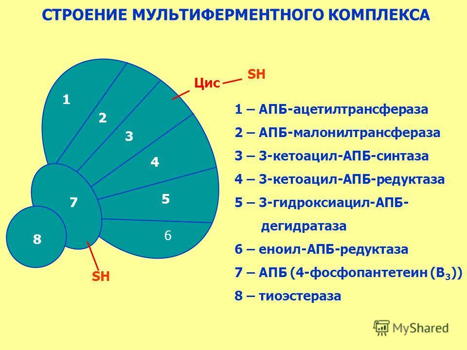 СТРОЕНИЕ МУЛЬТИФЕРМЕНТНОГО КОМПЛЕКСА 1 – АПБ-ацетилтрансфераза 2 – АПБ-малонилтрансфераза 3 – 3-кетоацил-АПБ-синтаза 4 – 3-кетоацил-АПБ-редуктаза 5 – 3-гидроксиацил-АПБ- дегидратаза 6 – еноил-АПБ-редуктаза 7 – АПБ (4-фосфопантетеин (В 3 )) 8 – тиоэст