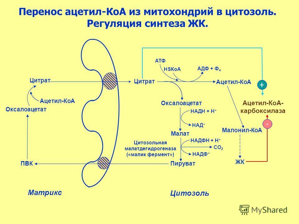 Цитрат Перенос ацетил-КоА из митохондрий в цитозоль. Регуляция синтеза ЖК. Оксалоацетат ПВК Ацетил-КоА Цитрат Ацетил-КоА HSКоА АДФ + Ф н АТФ Оксалоацетат Пируват Цитозольная малатдегидрогеназа («малик фермент») СО 2 НАДН + Н + Малонил-КоА НАД + Ацети