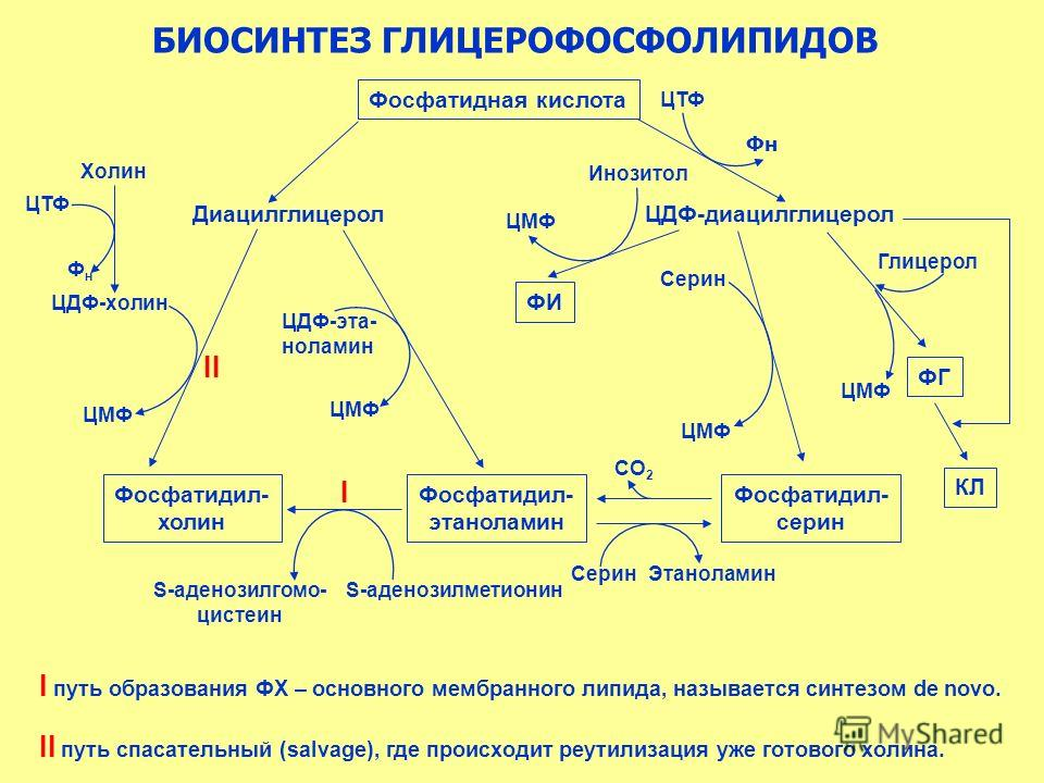 БИОСИНТЕЗ ГЛИЦЕРОФОСФОЛИПИДОВ Фосфатидная кислота ДиацилглицеролЦДФ-диацилглицерол ЦТФ Фн Инозитол ЦМФ ФИ Фосфатидил- серин Фосфатидил- этаноламин Фосфатидил- холин Серин ЦМФ ФГ ЦМФ Глицерол КЛ СО 2 СеринЭтаноламин S-аденозилметионин S-аденозилгомо-