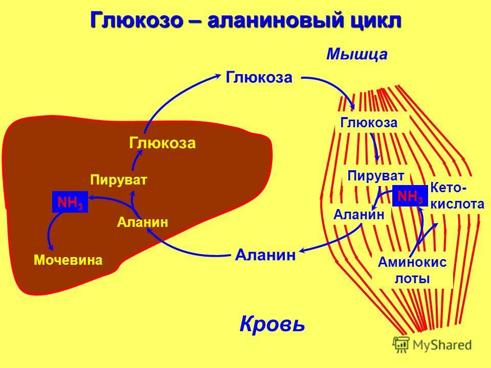 Глюкозо – аланиновый цикл Кровь печень Аланин Мышца Глюкоза Аланин Пируват Аланин Аминокис лоты Кето- кислота NН3NН3 Мочевина Пируват Глюкоза NН3NН3