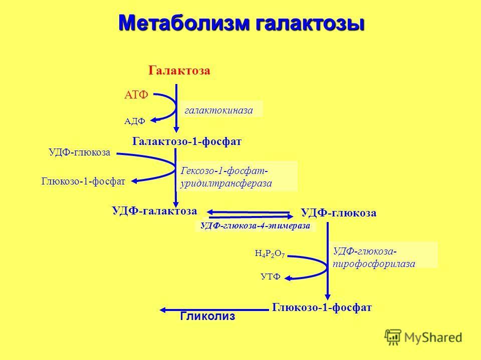 УДФ-глюкоза-4-эпимераза Метаболизм галактозы Глюкозо-1-фосфат УДФ-глюкоза- пирофосфорилаза УТФ Н4Р2О7Н4Р2О7 Глюкозо-1-фосфат УДФ-глюкоза УДФ-галактоза Галактозо-1-фосфат АДФ АТФ Галактоза галактокиназа Гексозо-1-фосфат- уридилтрансфераза Гликолиз