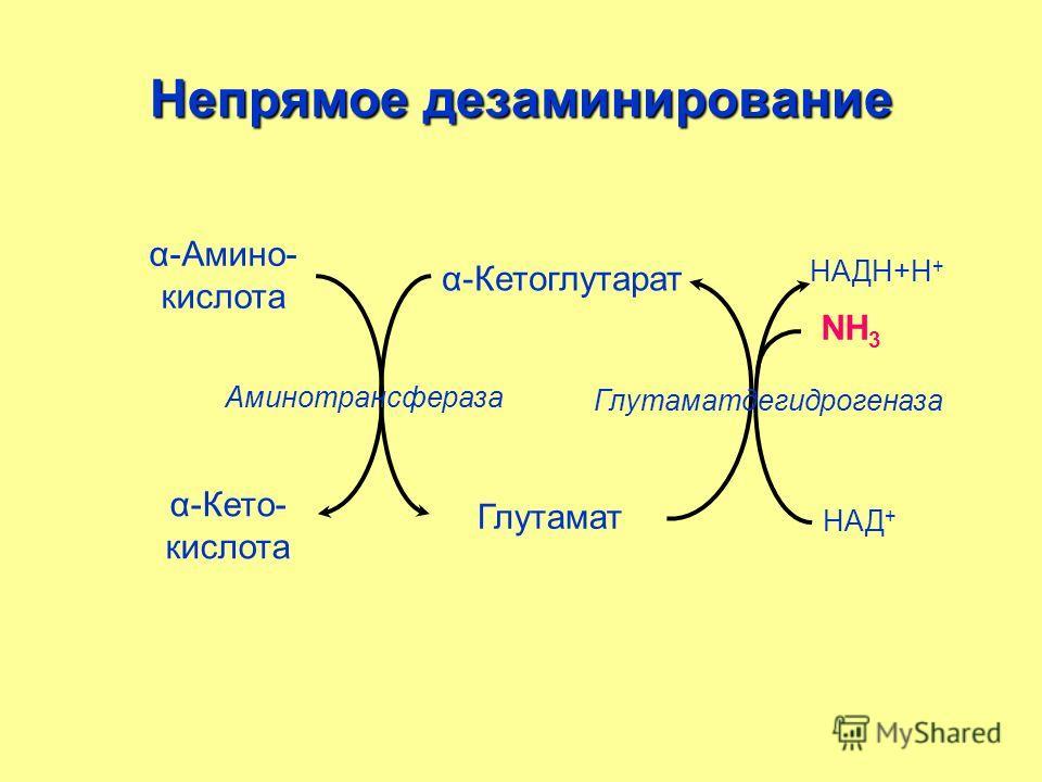 Непрямое дезаминирование α-Амино- кислота α-Кетоглутарат α-Кето- кислота НАД + Глутамат НАДН+Н + NН3NН3 Аминотрансфераза Глутаматдегидрогеназа