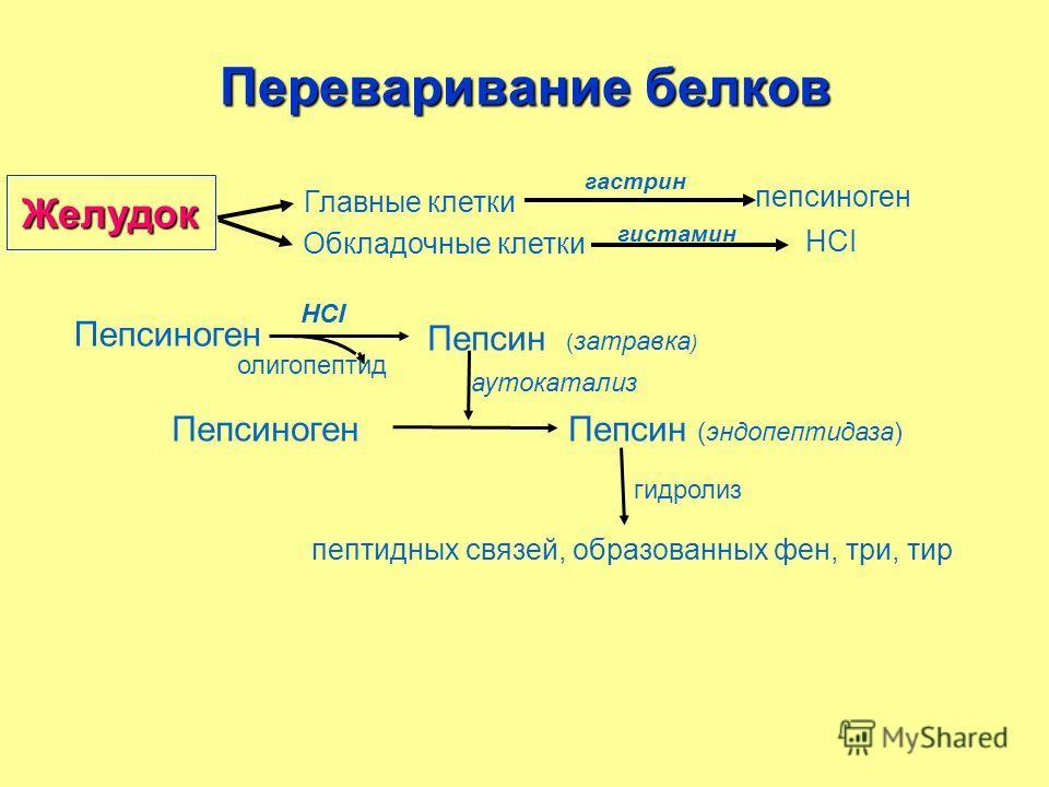 Главные клетки пепсиноген Обкладочные клетки НСI гистамин гастрин Пепсиноген олигопептид НСI Пепсин ( затравка ) Пепсиноген аутокатализ Пепсин (эндопептидаза) пептидных связей, образованных фен, три, тир гидролиз Переваривание белков Желудок