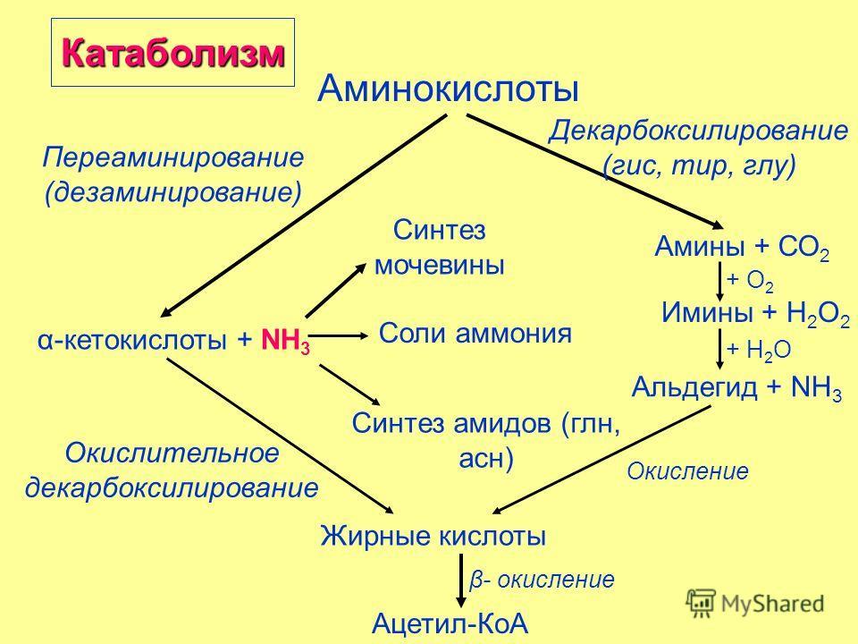 Аминокислоты Переаминирование (дезаминирование) Декарбоксилирование (гис, тир, глу) α-кетокислоты + NH 3 Амины + СО 2 Имины + Н 2 О 2 Альдегид + NH 3 + О 2 + Н 2 О Жирные кислоты Синтез мочевины Синтез амидов (глн, асн) Окислительное декарбоксилирова
