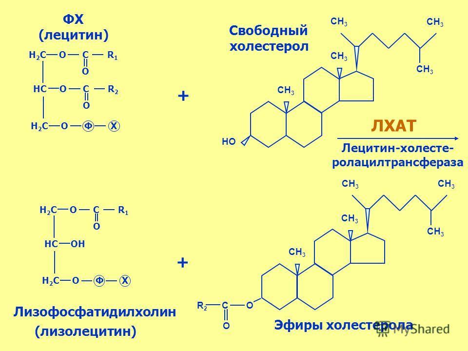 СН 3 НО СН 3 R 2 C О Н 2 С О С R 1 НС О С R 2 Н 2 С О Ф Х О О Н 2 С О С R 1 НС ОН Н 2 С О Ф Х О ФХ (лецитин) Свободный холестерол + + ЛХАТ Лецитин-холесте- ролацилтрансфераза О (лизолецитин) Эфиры холестерола Лизофосфатидилхолин