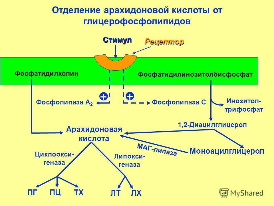 Отделение арахидоновой кислоты от глицерофосфолипидов Фосфатидилхолин Фосфатидилинозитолбисфосфат Стимул Рецептор Арахидоновая кислота 1,2-Диацилглицерол Моноацилглицерол МАГ-липаза Фосфолипаза А 2 Фосфолипаза С Инозитол- трифосфат + + ПГ ПЦ ТХ ЛТ ЛХ