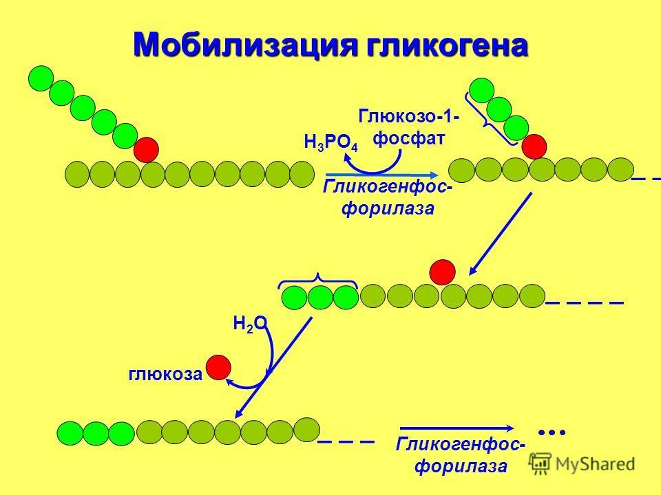 Мобилизация гликогена _ _ _ _ _ Н 3 РО 4 Глюкозо-1- фосфат Гликогенфос- форилаза Н2ОН2О глюкоза Гликогенфос- форилаза