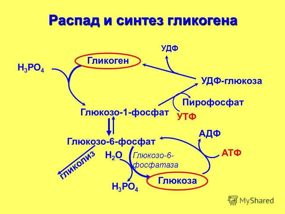 УДФ Глюкозо-6-фосфат Н2ОН2О Н 3 РО 4 АТФ Глюкоза АДФ Гликоген Глюкозо-1-фосфат УДФ-глюкоза УТФ Пирофосфат гликолиз Н 3 РО 4 Распад и синтез гликогена Глюкозо-6- фосфатаза
