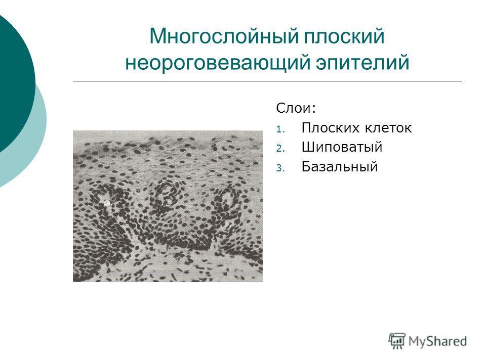 Многослойный плоский неороговевающий эпителий Слои: 1. Плоских клеток 2. Шиповатый 3. Базальный