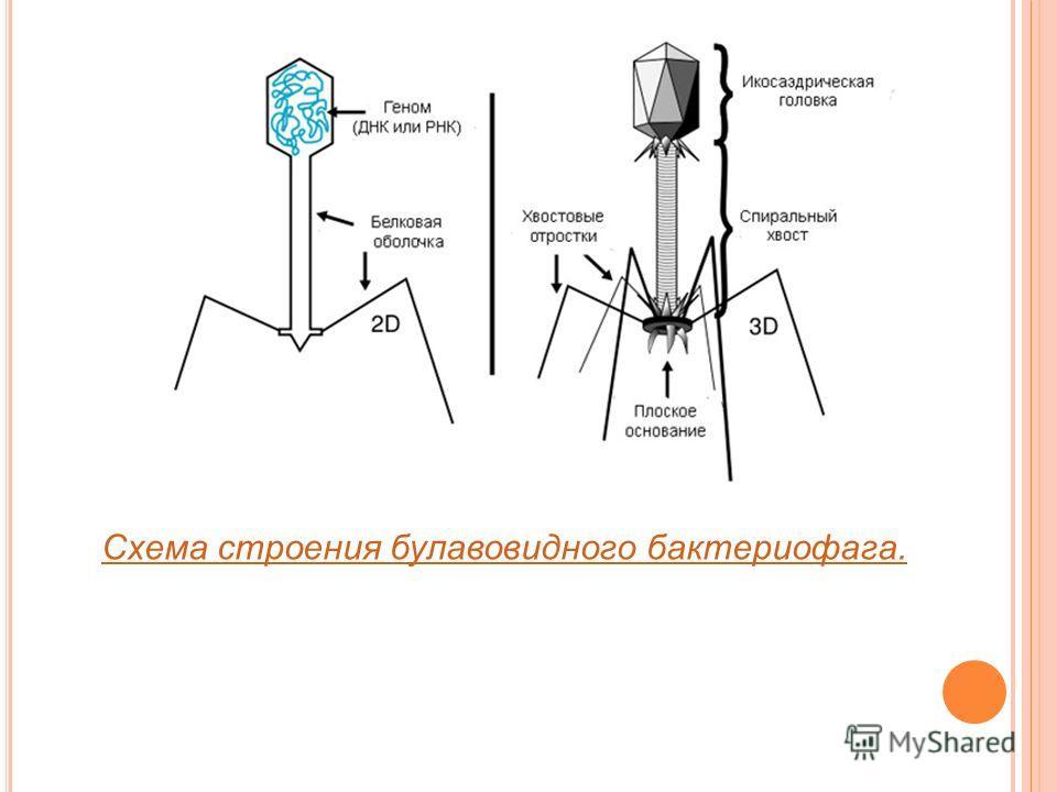Схема строения булавовидного бактериофага.