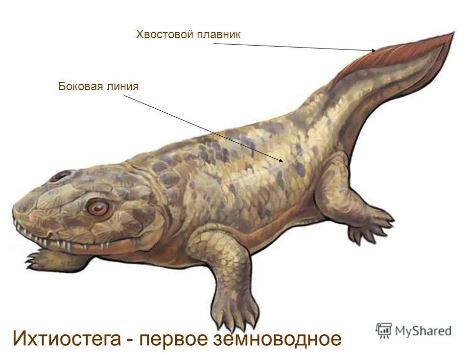 Ихтиостега - первое земноводное Хвостовой плавник Боковая линия