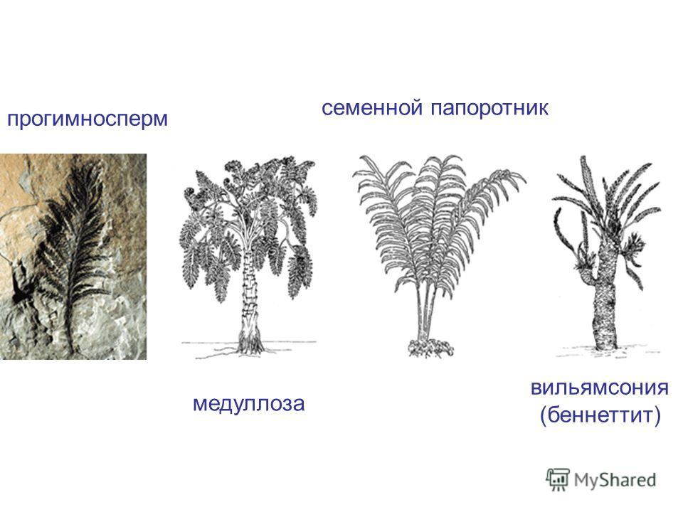 прогимносперм медуллоза семенной папоротник вильямсония (беннеттит)