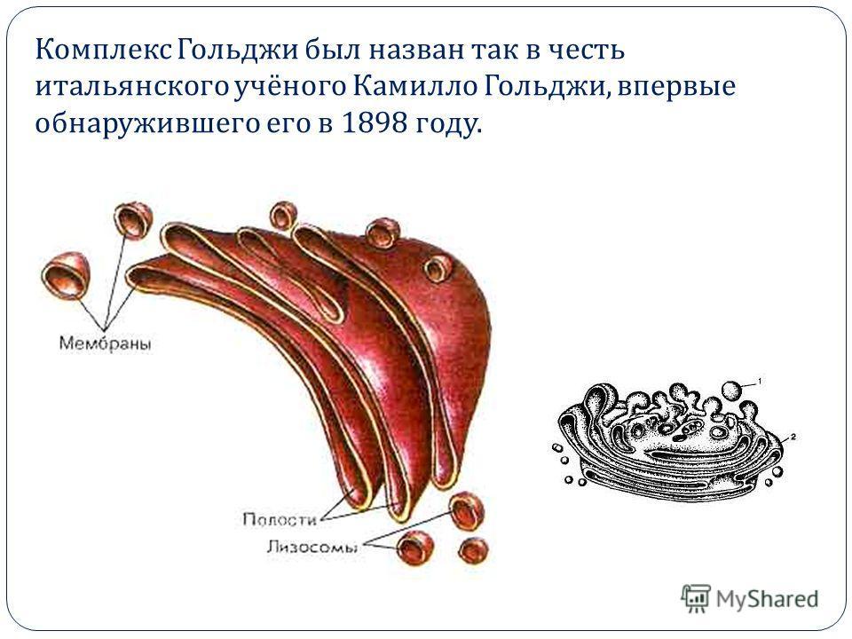 Комплекс Гольджи был назван так в честь итальянского учёного Камилло Гольджи, впервые обнаружившего его в 1898 году.