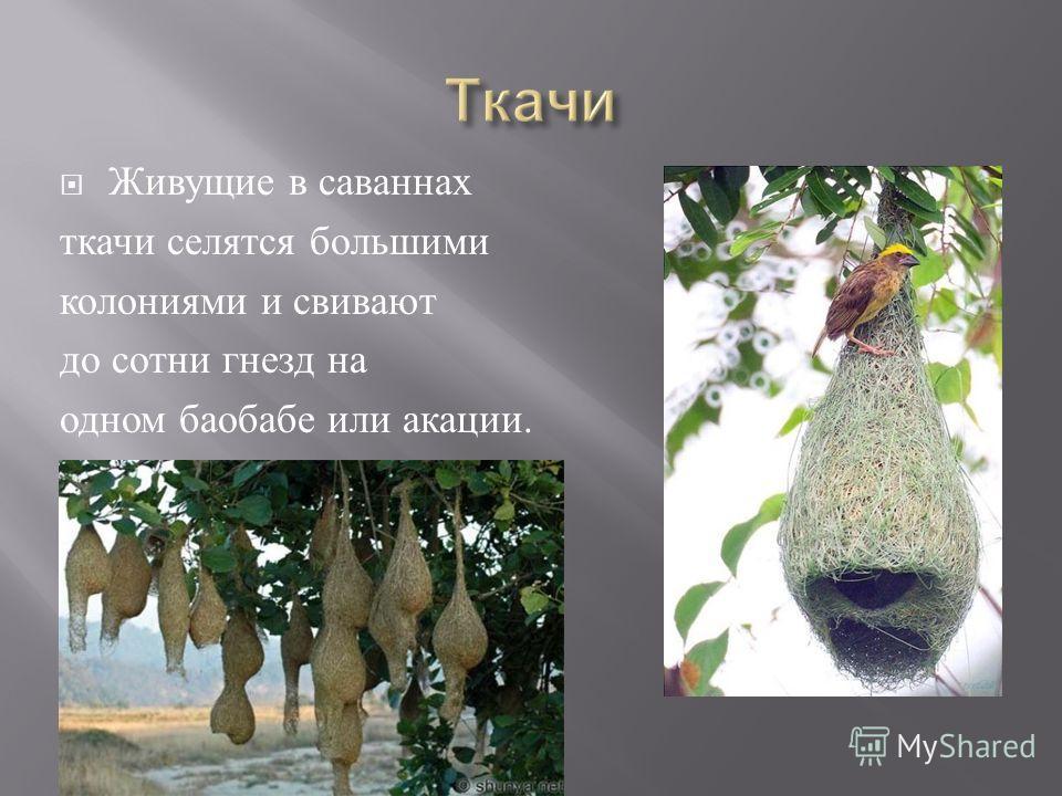 Живущие в саваннах ткачи селятся большими колониями и свивают до сотни гнезд на одном баобабе или акации.
