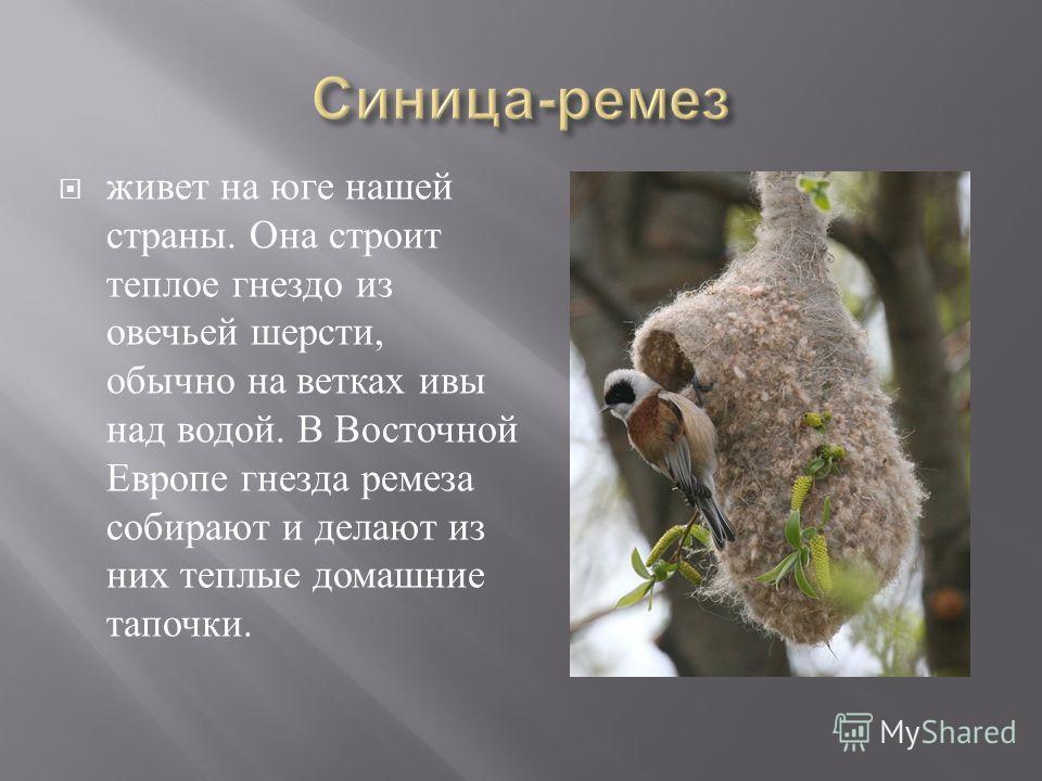 живет на юге нашей страны. Она строит теплое гнездо из овечьей шерсти, обычно на ветках ивы над водой. В Восточной Европе гнезда ремеза собирают и делают из них теплые домашние тапочки.